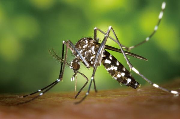 Új szúnyogfaj terjed Magyarországon, bőrférgességet, trópusi betegségeket hordoz